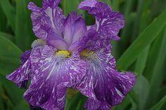 Iris 13
