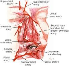 Image result for blood supply of nose Facial Aesthetics, Plastic Surgery, Books To Read, Blood, Things To Come, Lips, Image, Body Parts, Google Search