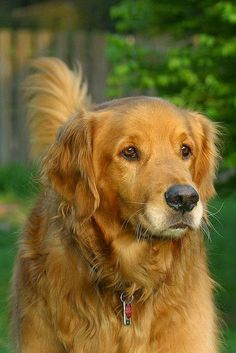 Astonishing Everything You Ever Wanted to Know about Golden Retrievers Ideas. Glorious Everything You Ever Wanted to Know about Golden Retrievers Ideas. Golden Retrievers, Dogs Golden Retriever, Retriever Dog, Baby Dogs, Pet Dogs, Dog Cat, Pets, Chihuahua Dogs, Smartest Dog Breeds