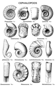 cephalopod fossils