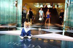 So that was fun. And then we stopped by Prada… | 42 Things That Happened During My Day With The Second Most Famous Pomeranian In The World