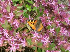 Fetthenne mit Schmetterling