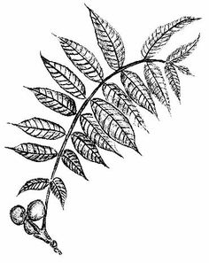Could be cool if mirrored on other side and connected at base to create a U shape About Black Walnuts- from Wildman Steve Brill, The Wild Vegetarian Cookbook Moth Tattoo, Leaf Tattoos, Mad Tatter, Black Walnut Tree, Leaf Skeleton, Leaf Drawing, Tattoo Illustration, Wild Edibles, Wedding Signage