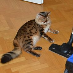 Elsa: I can easily defeat you vacuum monster I'm not afraid of you! Are you afraid of something furriends? Don't miss a post from Monster Hunter, Monster Girl, Bengal, Cats Of Instagram, Elsa, Kitty, Kitten, Kitty Cats, Bengal Cats