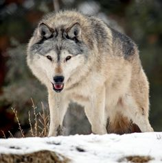 Timber Wolf by AllenDouglas