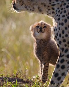 Baby cheetah cub and her momma