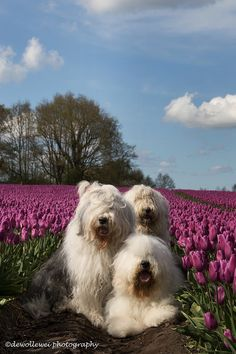 tulip girls