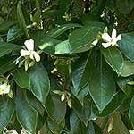 Sweetshade Tree, Hymenosporum flavum