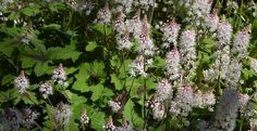 Foam Flower - Tiarella cordifolia - The Landscape of Us