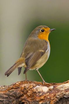 Birds And Animals: Robin