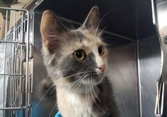 SAFE! TO BE DESTROYED 8/27/14 ** A volunteer writes: Just look at this  sweet pastel calico and you will see she is like sugar melting in your  hand. What a gentle soul who loves affection and human companionship.  She has beautiful fur and a fluffy tail to match her gorgeous  appearance. * Manhattan Center  My name is PRISCILLA. My Animal ID # is A1010654.  I am a female calico dom sh mix. The shelter thinks I am 2 YEARS    I came in as a STRAY on 08/15/2014 from NY 10468