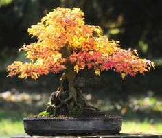 Fun And Eco-Helpful Solutions To Remodel Your Yard Bonsai Tree Fire Maple Japanese House Plant Indoor Decoration Garden New Japanese Bonsai Tree, Japanese Garden Plants, Japanese Garden Design, Japanese Gardens, Japanese House, Bonsai Plants, Bonsai Garden, Ikebana, Bonsai Styles