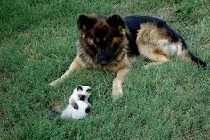 #german #shepherd and other a #cat