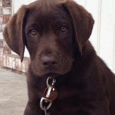 My chocolate lab puppy,Charlie.
