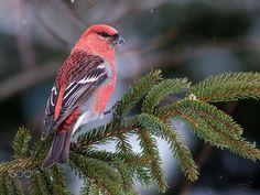Pine Grosbeak - null