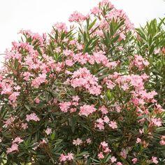 Le laurier-rose : la plante d'extérieur jamais assoiffée