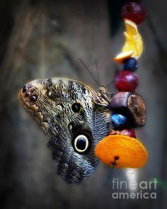 Owl Butterfly by Anita Faye