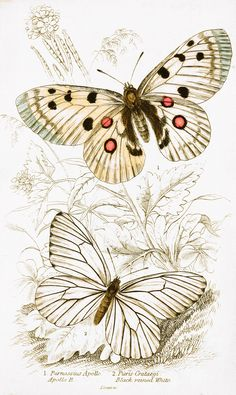 apollo-black-veined-white-butterfly-image-by-w-h-lizars-1855.jpg (1808×3028)
