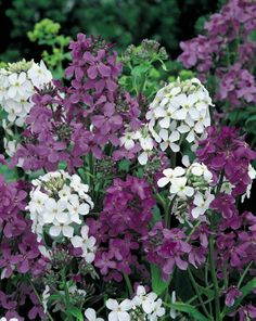 Tons of seeds for a perennial garden ! (Dame's Rocket Mix shown here) Cottage Garden Plants, Garden Bulbs, Garden Seeds, Hardy Perennials, Flowers Perennials, Planting Flowers, Potager Bio, Full Sun Plants, Landscaping Images