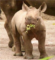 Another Baby Rhino!