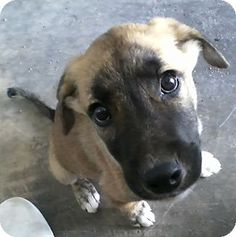Jackson's Info...  Breed:Pointer/Husky MixColor:UnknownAge:Puppy Size:Med. 26-60 lbs (12-27 kg)Sex:Male ID#:13117 I am good with kids, good with dogs, and good with cats.  Jackson's Story... more info to follow soon