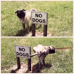 Pug Rebellion, 1962 | 35 Most Adorable Moments In Pug History