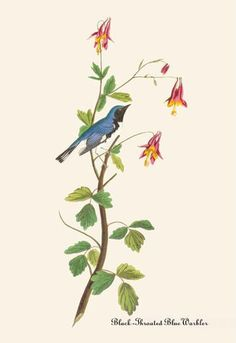 Black-Throated Blue Warbler 12x18 Giclee on canvas