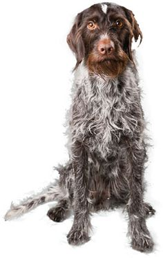German Wirehaired Pointer Dog Information Curly Coated Retriever, Pointer Puppies, Pointer Dog, Braque Du Bourbonnais, German Wirehaired Pointer, Terrier, Purebred Dogs, Losing A Dog, Dogs