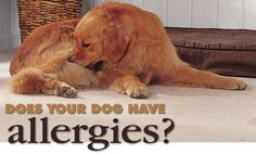 Allergies in Dogs & How to Provide Relief Dog Allergy Relief Pekinese, Pet Allergies, Seasonal Allergies, Dangerous Dogs, Diy Stuffed Animals, Four Legged, Dog Care, Doge, Dog Mom