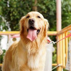 goldenretriever_Cherry&Fuzzyさん(@golden_retriever_cherry)のInstagramアカウント: 「Cherry * #ilovegolden_retrievers  #pets_perfection  #my_loving_pet  #dogs_of_instagram…」
