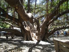 Another section of the Banyan Tree