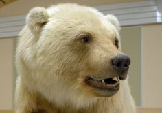 Grolar The grizzly-polar bear hybrid is far more aggressive than a polar bear, as villagers in the north have found.