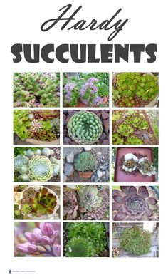 Hardy Succulents - these tough plants don't mind the cold... Gardening | Drought Tolerant Plants|