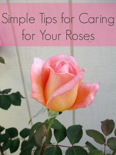 I asked him if he would write down some tips for me, plus I started doing some research on my own. Here are some Simple Tips for Caring for Your Roses: