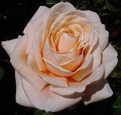 Treloar Roses - AMORETTO $12.95