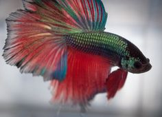 Awesome betta.