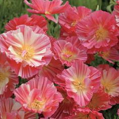 California Poppy Rose– Annual - Is as easy as tossing seeds onto some soil and watering in!Pink in color, almost as easy to grow as the orange Poppy. Plant in Sun. Drought resistant. Perfect for a cottage style garden.