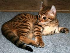 Mokave Kitten