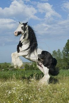 The Gypsy Horse (USA), also known as an Irish cob (Ireland/UK), Gypsy Cob, Gypsy Vanner (USA), Coloured Cob (UK/Ireland) or Tinker horse (Europe