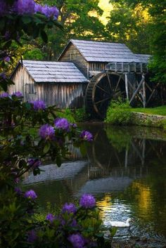 Nature's garden - Massive Rhododendron frames this peaceful watermill scene