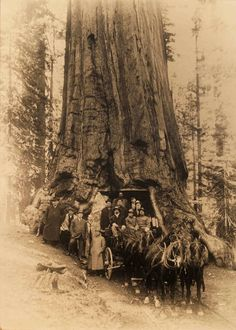 The Wawona Tree - Historic Photos Since Its Tunnel Was Formed Untill Falling