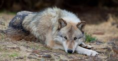 Support Real Wolf Recovery: Sign the Citizens' Wolf Recovery Vision   Click for details and please SIGN and share petition. Thanks 1/23