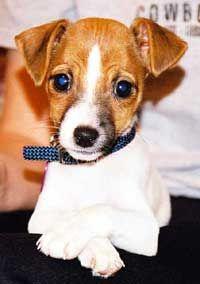 Jack Russell Terrier, looks like Pesci when he was 8 weeks old..so cute:)