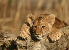 Photo by Michal Prasek All About Eyes, Big Cats, Mammals, Lions, Wilderness, Wildlife, Into The Wild, Lion