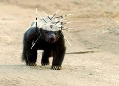 """This badass Honey Badger after a fight with a porcupine (Photo: Owen Slater)"" Animals And Pets, Funny Animals, Cute Animals, Honey Badger Tattoo, Tier Fotos, African Animals, Nature Images, Nature Nature, Mother Nature"
