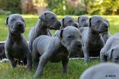 want. want. want... great dane puppies!!!