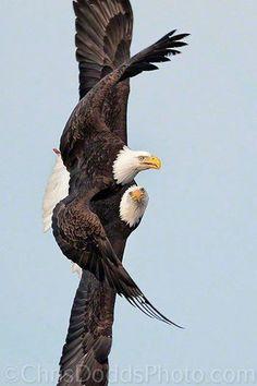 Bald Eagles (Haliaeetus leucocephalus) by Christopher Dodds