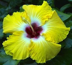 Lemon Life Tropical Hibiscus Plant in 4 5 Pot | eBay ~ Hibiscus 'Lemon Life' has a 8-9 inch yellow flower with a red center and white halo. Registered in 2011; introduced by Barry and Susan Schlueter in Texas; 'Byron Metts' X 'Georgia's Pearl.