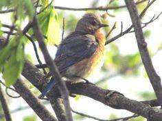 Bluebird Photographed by Doris Glander