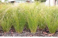 Celebrating the beauty of NZ Plants Plants, Herbs, Ornamental Grasses, Native Plants, Back Gardens, Kitchen Garden, Carex Grass